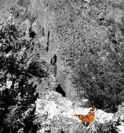Butterfly Above Grand Canyon